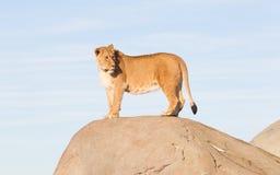 Löwin, die von einem Felsen aufpasst Lizenzfreie Stockfotografie