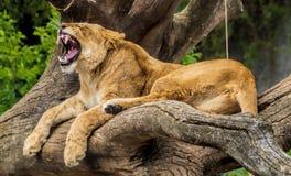 Löwin, die Zähne zeigt stockbild