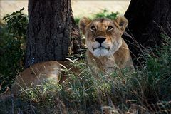 Löwin in einem Akazienfarbton Lizenzfreie Stockfotos