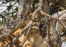 Löwin in einem Baum Stockfotografie