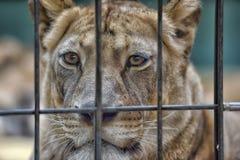 Löwin in einem Käfig Lizenzfreie Stockfotografie