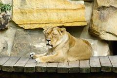 Löwin, freundliche Tiere am Prag-Zoo Lizenzfreie Stockfotografie