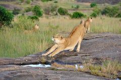 Löwin geben eine Ausdehnung Stockfotos