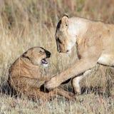Löwin gespielt mit ihrem Jungen Stockfotografie