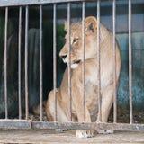 Löwin hinter Gittern in einem Zookäfig Stockbilder