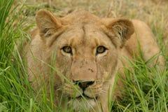 Löwin im Gras lizenzfreie stockfotografie