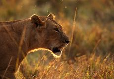 Löwin im hintergrundbeleuchteten Licht während des Sonnenuntergangs stockfotos