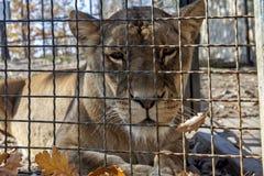 Löwin im Käfig hinter grils 01 Lizenzfreies Stockfoto