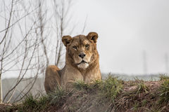 Löwin im Ruhezustand Lizenzfreies Stockbild