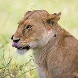 Löwin im Serengeti Stockbilder
