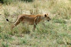 Löwin im Serengeti Lizenzfreies Stockbild