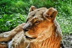 Löwin im Sonnenschein lizenzfreies stockfoto