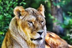 Löwin im Sonnenschein stockfotografie