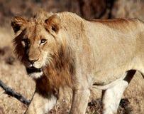 Löwin-Jagd Stockfoto
