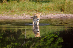 Löwin. Lioness in the Chobe nationalpark in Botswana Stock Photos