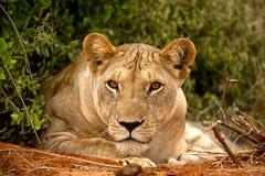 Löwin mit dem Kinn auf Tatze Stockfotografie