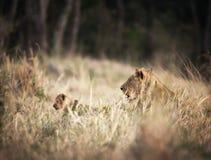 Löwin mit jungem Jungem Lizenzfreie Stockfotos