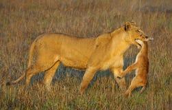 Löwin mit Opfer. Stockbild