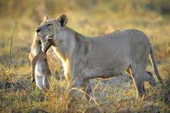 Löwin mit Opfer. Lizenzfreie Stockfotos