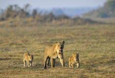 Löwin nach der Jagd mit Jungen. Lizenzfreies Stockfoto