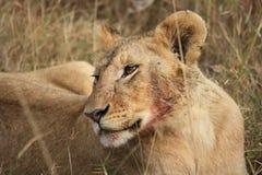 Löwin nach Mahlzeit Stockbilder