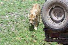 Löwin nahe dem Auto Stockfotos