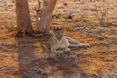 Löwin in Nationalpark Tsavi, Kenia Lizenzfreies Stockfoto