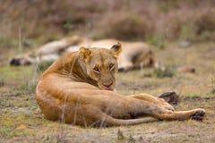 Löwin oben gekräuselt, pflegend stockfotografie