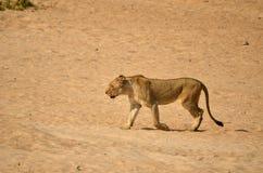 Löwin (Panthera Löwe) Stockbilder