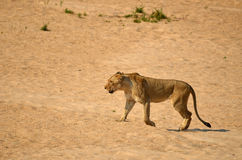 Löwin (Panthera Löwe) Lizenzfreie Stockfotografie