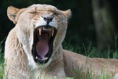 Löwin Panthera Löwe stockfotografie