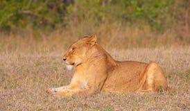 Löwin (Panthera Löwe) im wilden Stockfotografie