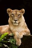 Löwin portriat lizenzfreie stockfotos