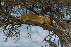 Löwin schlafend im Baum lizenzfreie stockbilder