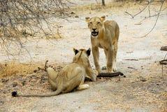 Löwin Selous am Nationalpark Lizenzfreies Stockbild