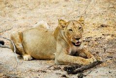 Löwin Selous am Nationalpark Lizenzfreie Stockfotografie