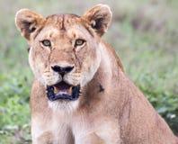 Löwin in Serengeti Lizenzfreie Stockfotografie