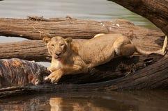Löwin speist von der Karkasse eines Flusspferds Lizenzfreie Stockbilder