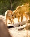 Löwin spielerisch mit ihrem Jungen stockbild