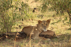 Löwin-stillstehender Kopf auf Felsen Stockfotos
