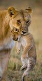 Löwin trägt ihr Baby Chiang Mai kenia tanzania Masai Mara serengeti Lizenzfreie Stockfotos