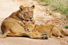 Löwin u. junger Löwe Lizenzfreie Stockbilder