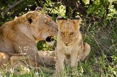 Löwin u. junger Löwe Lizenzfreie Stockfotos