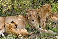 Löwin u. junger Löwe Stockbilder