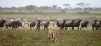 Löwin und Herde von Wildebeest beim Serengeti Stockbild