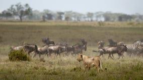 Löwin und Herde von Wildebeest beim Serengeti lizenzfreie stockbilder
