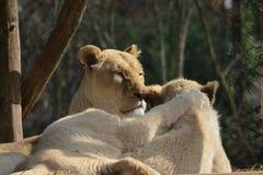 Löwin und ihr Baby, die nebeneinander mit einer Tatze auf der Rückseite gesehen von hinten liegt lizenzfreies stockbild