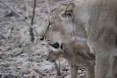 Löwin und ihr Junges an Gir-Staatsangehörigem Resrve lizenzfreies stockbild