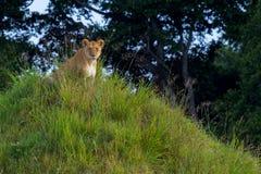 Löwin und ihr Jungstillstehen stockbild
