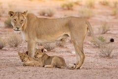 Löwin und Junge spielen im Kalahari auf Sand Lizenzfreie Stockbilder